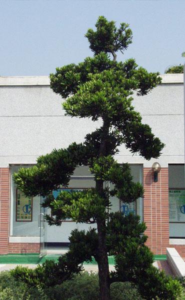 校园松树铅笔画