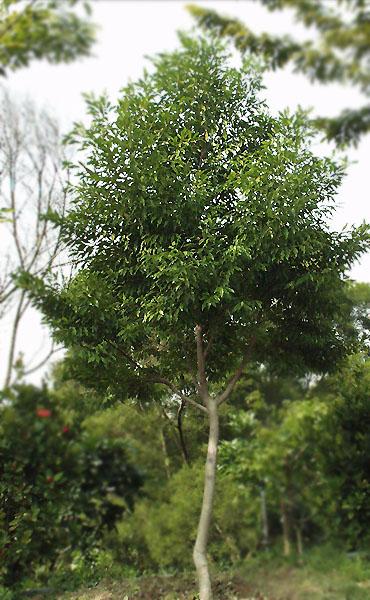 sargent  科名:木兰科magnoliaceae  别名:鲈鳗  形态特性: 常绿大